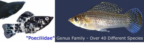 Molly Fish Tank Care - Balloon Mollies, Types, & Breeding